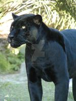 Black Jaguar by Interphantom