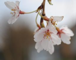 cherry blossoms X by breakeric