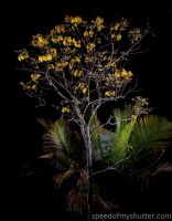 Tabebuia by night by speedofmyshutter
