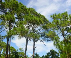 High Pines of Florida by Kastien