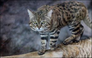 African Black-footed Cat by SilkenWinds