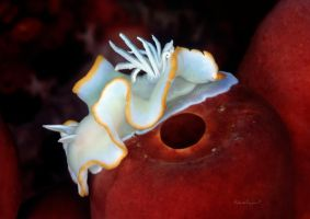 Nudibranch on a sponge by LazyDugong