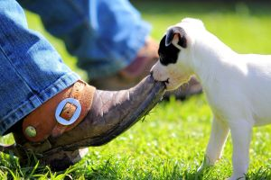 Cowgirl Boot for a Chew Toy by kurtywompus