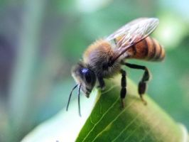 Bee stock 01 by Shutter-Shooter