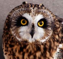 Short-Eared Owl by joanniegoulet