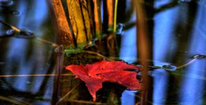 Canadian Maple Leaf by Qels
