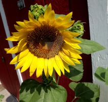 Day 26 - Daily Sunflower Pictures by Tails-155