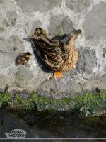 Duck and ducklings by AndrewNickson