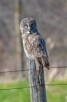 Great Gray Owl on post by madmoonhowl