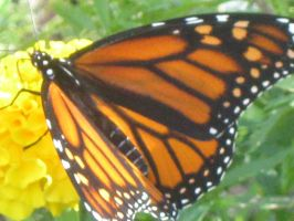 Monarch Butterfly by crazygardener