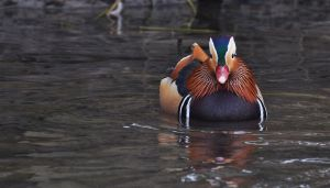 Mandarin Duck (male) by Dariaocean