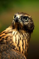 Goshawk Glance by Shadow-and-Flame-86