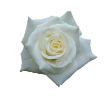 rose png1 by vin-stock