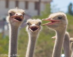Camel Races 140906-133 by MartinGollery