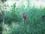 Fawn in the Tall Grass 1 by Windthin