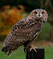 Eagle Owl 2 by Tinap