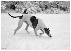 Grey Hound at winter by fabuli