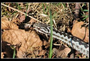 Adder this time... by jamesboy
