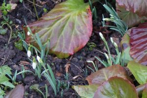 Snowdrops between big leaves by Mecarion