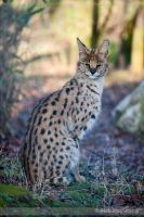 The Serval 196-10j by mym8rick