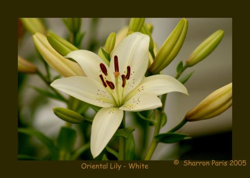 White Lily by ShareLife