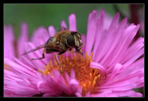Bee and flower by Falnorfotografie