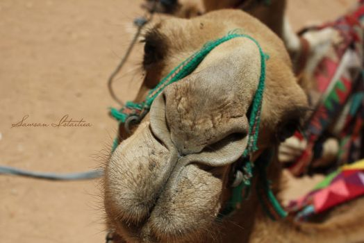 Say Camel! by doredore