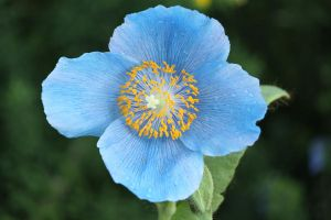 himalayan blue poppy by CASPER1830