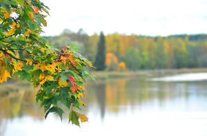 Autumn maple leafs by Tapire
