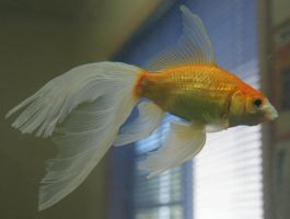 gold fish or mermaid tail 15 by scratzilla