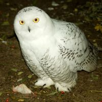 Young snow owl 2 by steppelandstock