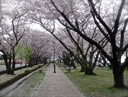 Cherry Blossoms by 7whitefire7