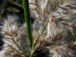 Reed Close Up 2 by radelaidian-stock