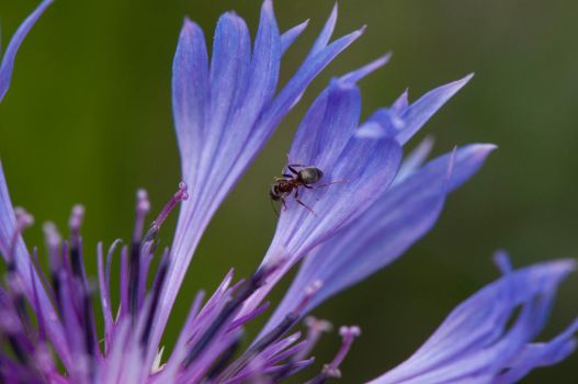 Ant on flower - 1 by sheihulud