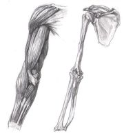 Anatomy of the Arm by rrog