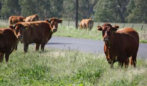 Cattle - stock - 13 by aussiegal7