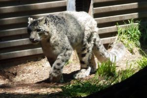 Snow Leopard Pacing by Track-Maidens