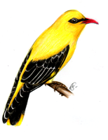 Golden Oriole by Lunell