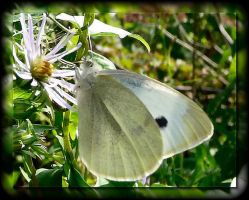 white butterfly by sherln