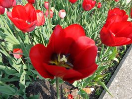 Tulip Time 2 2015 by The-Smile-Giver
