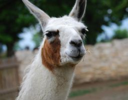 Lama by MetallerLucy