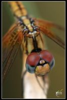 Common dragonfly ::. by k-y-k