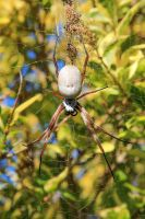 Big Spider! Orb Weaver? by RaynePhotography