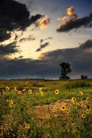 A Memory Of The Sunflowers by kkart