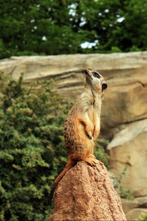 Meerkat 16 by Pagan-Stock
