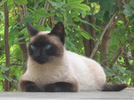 Siamese Cat by juliozzy