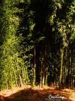Bamboo by ceciliay