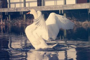 Swan straeching by CrystalGoldfinch