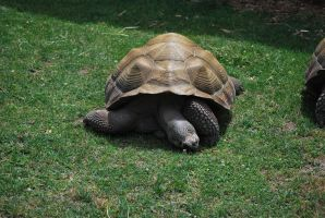 galapagos tortoise 2.6 by meihua-stock