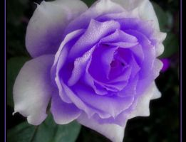 Purple Rose by SanjiBabs